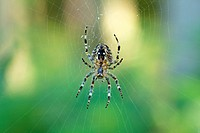 Araneus orb-weaving spider (Araneus) in its web