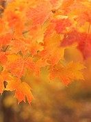 Red maple leaves, fall, Ontario, Canada