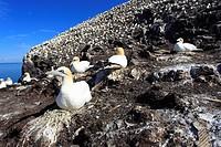 Northern Gannets (Sula bassana or Morus bassanus), Bass Rock, Scotland.
