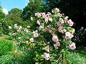 Rosa rubiginosa Fritz Nobis, Kletterrose, climber rose