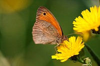 Small Heath on yellow flower