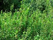 Betula humilis, Niedrige Birke, shrub birch