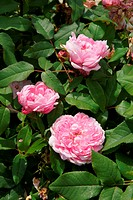 Rosa Jaques Cartier, Damascener Rose