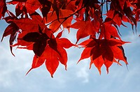 Downy Japanese Maple or Fullmoon Maple Acer japonicum with red autumn colouring against a blue sky