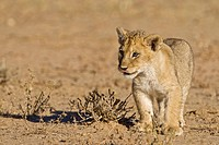 Lion pup, cub (Panthera leo), Kgalagadi Transfrontier National Park, Gemsbok National Park, South Africa, Botswana, Africa