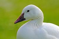 Domestic goose (Anser anser f. domestica)