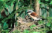 Red-backed Shrike (Lanius collurio), male feeding young in the nest, Allgaeu, Bavaria, Germany, Europe