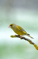 Greenfinch (Carduelis chloris), male