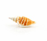 Colored Seashell Scallop Isolated on White