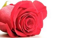 beautiful flower rose. closeup