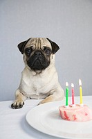 Young pug posing behind a marrow bone with three lighted birthday candles