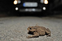 Toad migration, Common Toad (Bufo bufo) on the street in front of a car
