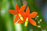 Orchid (Epidendrum vitellinum)