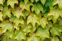 Virginia creeper, leaves, summer