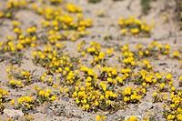 Restharrow ( Ononis hebecarpa ) , Jandia , Fuerteventura , Canary Islands