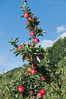 Apples in Hardanger Norway