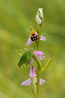 Male of Krauss´s Bush-cricket (Isophya kraussi) on the flowers of a Bee Orchid (Ophrys apifera)