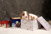 A pitbull puppy, nine weeks old, in a Christmas gift box