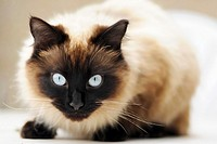 Piercing blue eyes of ´Ragdoll´ breed of domestic cat