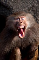 Screaming Hamadryas baboon