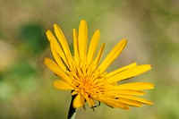 Jack-go-to-bed-at-noon, Yellow Goatsbeard, Tragopogon pratensis