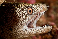 Hawaii, Maui, Molokini, Close up of a hungry Moray Eel Gymnothorax.