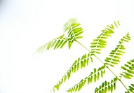 Hawaii, Kauai, Green Royal Poinciana tree leaves with white studio background.