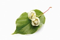 Kiwi (Actinidia deliciosa), leaf and flower, New Zealand