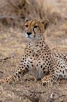 Africa, Kenya, Masai Mara, Cheetah Acinonyx jubatus