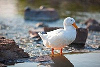 Close_up of a duck