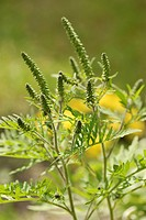 Common Ragweed Ambrosia artemisiifolia, a highly allergenic plant