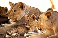Kenya, Samburu National Game Reserve. Lion cub among female lions Panthera leo