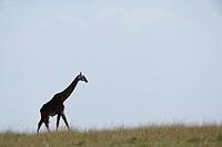 Giraffe silhouetted at sunrise, Giraffa camelopardalis tippelskirchi, Masai Mara Game Reserve, Kenya