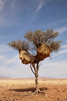 Namibia, Namib Desert, NamibRand Nature Reserve. Sociable weaver nest. Credit: Wendy Kaveney / Jaynes Gallery / DanitaDelimont.com