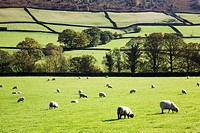 Sheep Grazing in Glaisdale North Yorkshire England
