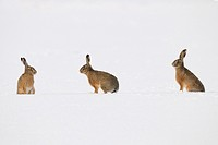 European brown hares (Lepus europaeus) in winter, Germany, Europe