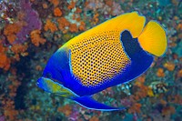 Indonesia, Raja Ampat. Side view of blue_girdled angelfish. Credit: Jones_Shimlock / Jaynes Gallery / DanitaDelimont.com