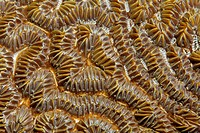 Polyps, stony coral, brain coral, Saint Lucia, St. Lucia Island, Windward Islands, Lesser Antilles, Caribbean, Caribbean Sea