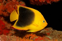 Rock beauty Holacanthus tricolor, in hideaway, transitional form between juvenile and adult fish, Saint Lucia, St. Lucia Island, Windward Islands, Les...