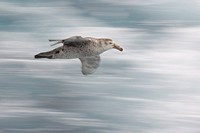 South Atlantic Ocean. A northern giant petrel glides by a tourist boat. Credit: Don Grall / Jaynes Gallery / DanitaDelimont.com