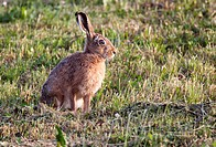 European Hare or Brown Hare Lepus europaeus