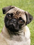 Head shot of a Pug dog