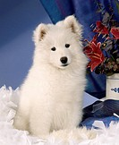 Samoyed: type of breed