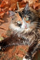 This vertical stock image shows a closeup of a pretty green eyed calico cat with fall and autumn leaves around the edges