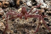 Orangutan Crab, Achaeus japonicus, Lembeh Strait, Sulawesi, Indonesia
