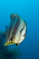 Longfin Batfish, Platax teira, Raja Ampat, Indonesia