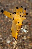 Nudibranch feeding on Skeleton Shrimps, Thecacera spp., Caprellide sp., Alam Batu, Bali, Indonesia