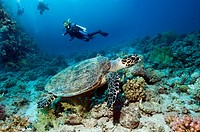 Diver with Hawksbill turtle Eretmochelys imbricata swimming over coral reef with a diver in background  Egypt, Red Sea