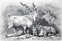 Markhor Capra falconeri, historical book illustration from the 19th Century, steel engraving, Brockhaus Konversationslexikon, an encyclopaedia from 19...