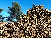 fallen pine trees in La Rioja